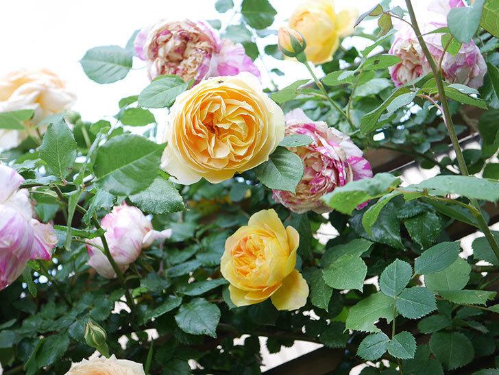 サムズ・アップ(Thumbs Up)の花がたくさん咲いた。半ツルバラ。2021年-109.jpg