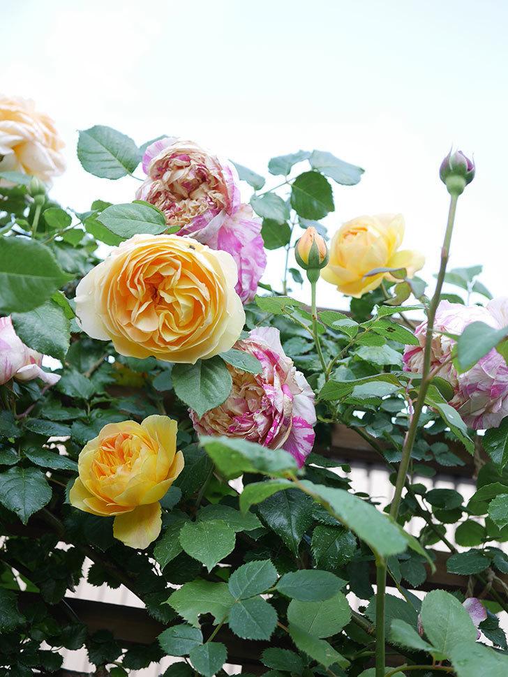 サムズ・アップ(Thumbs Up)の花がたくさん咲いた。半ツルバラ。2021年-110.jpg