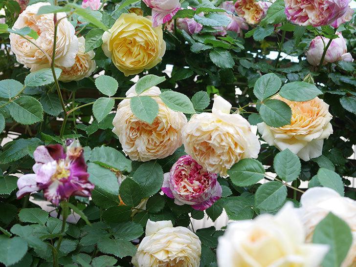 サムズ・アップ(Thumbs Up)の花がたくさん咲いた。半ツルバラ。2021年-111.jpg