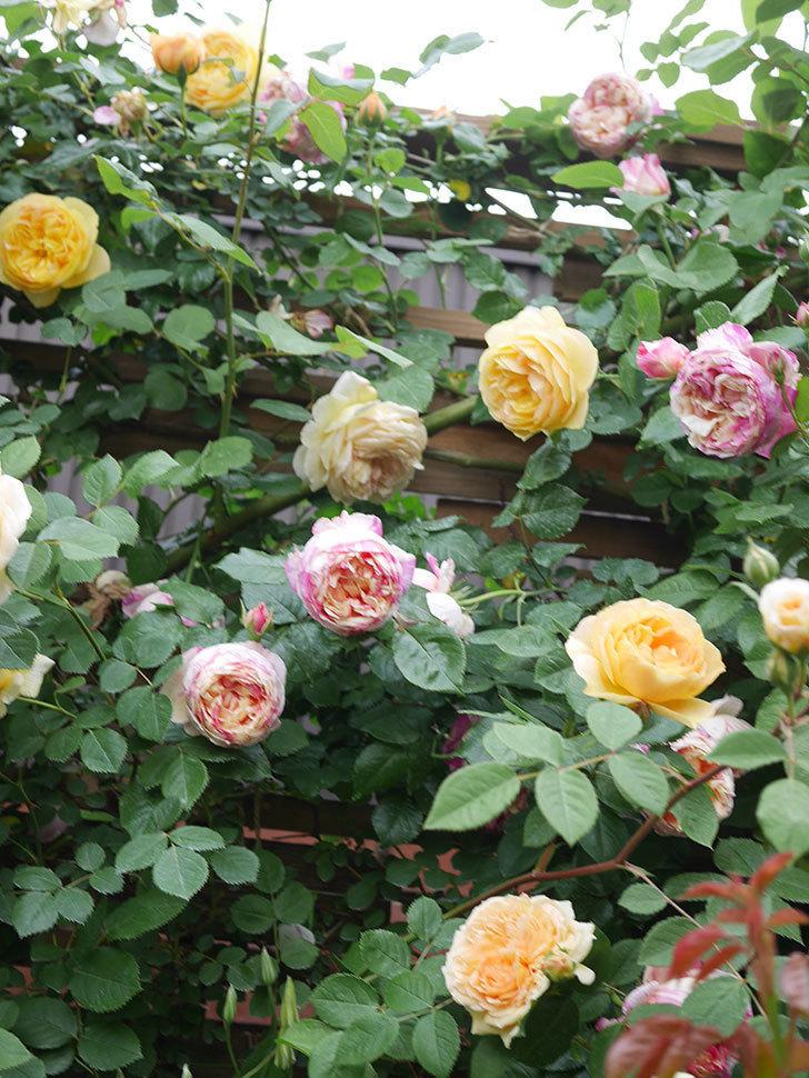 サムズ・アップ(Thumbs Up)の花がたくさん咲いた。半ツルバラ。2021年-112.jpg