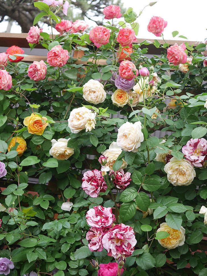 サムズ・アップ(Thumbs Up)の花がたくさん咲いた。半ツルバラ。2021年-113.jpg