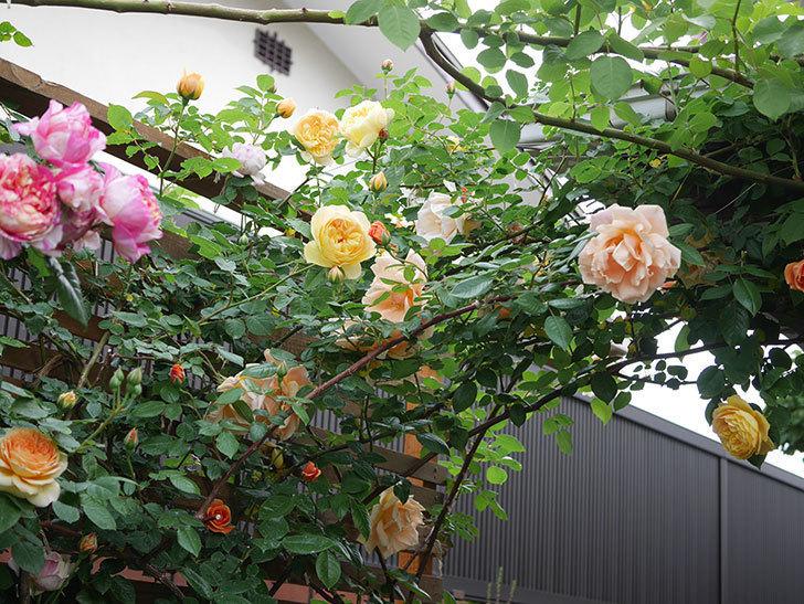 サムズ・アップ(Thumbs Up)の花がたくさん咲いた。半ツルバラ。2021年-114.jpg