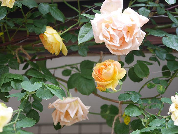 サムズ・アップ(Thumbs Up)の花がたくさん咲いた。半ツルバラ。2021年-115.jpg