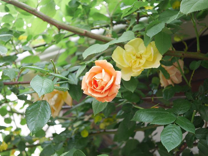 サムズ・アップ(Thumbs Up)の花がたくさん咲いた。半ツルバラ。2021年-116.jpg