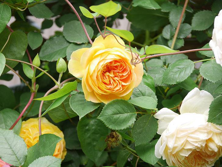 サムズ・アップ(Thumbs Up)の花がたくさん咲いた。半ツルバラ。2021年-117.jpg