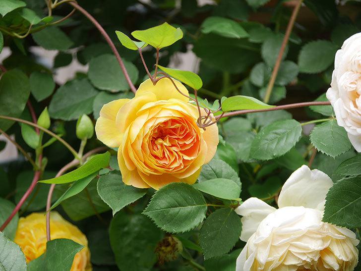 サムズ・アップ(Thumbs Up)の花がたくさん咲いた。半ツルバラ。2021年-118.jpg