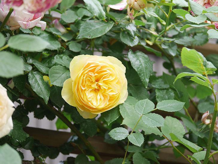 サムズ・アップ(Thumbs Up)の花がたくさん咲いた。半ツルバラ。2021年-119.jpg