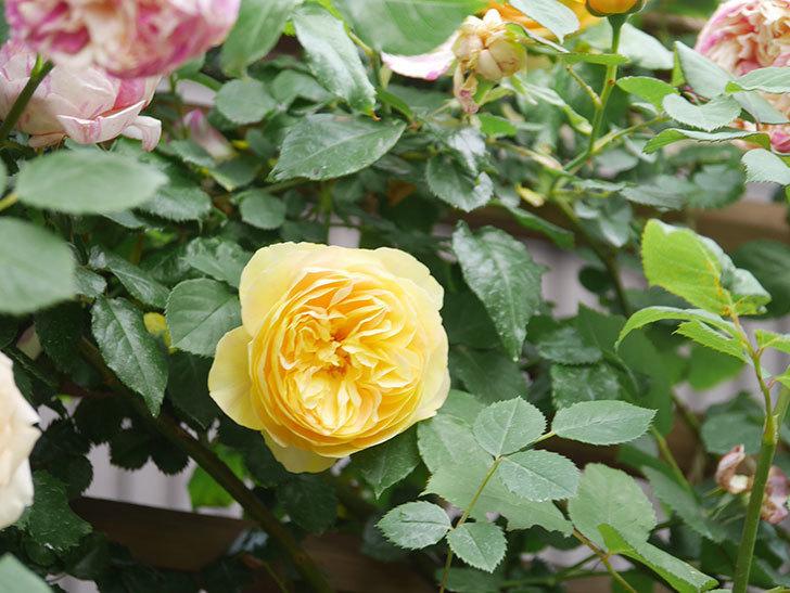 サムズ・アップ(Thumbs Up)の花がたくさん咲いた。半ツルバラ。2021年-120.jpg
