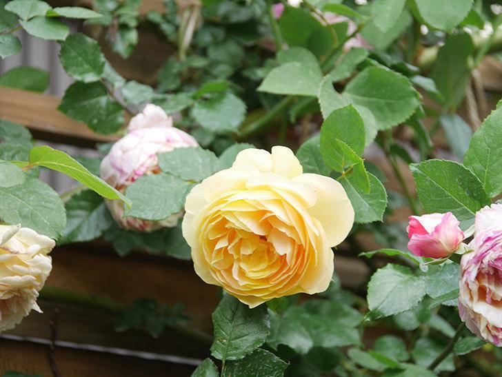 サムズ・アップ(Thumbs Up)の花がたくさん咲いた。半ツルバラ。2021年-121.jpg