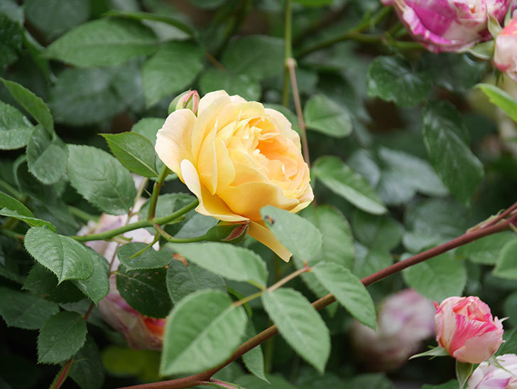 サムズ・アップ(Thumbs Up)の花がたくさん咲いた。半ツルバラ。2021年-122.jpg