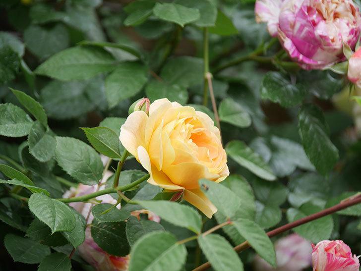 サムズ・アップ(Thumbs Up)の花がたくさん咲いた。半ツルバラ。2021年-123.jpg