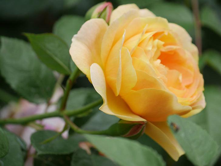 サムズ・アップ(Thumbs Up)の花がたくさん咲いた。半ツルバラ。2021年-125.jpg