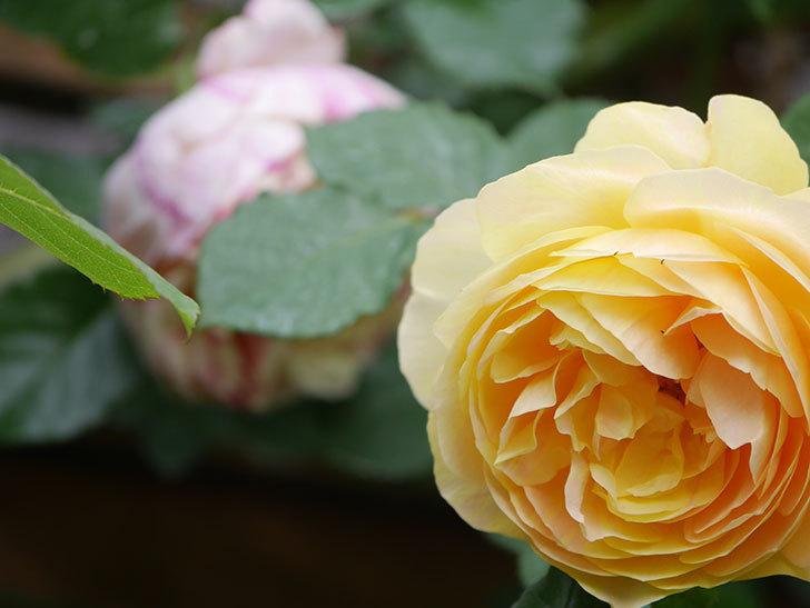 サムズ・アップ(Thumbs Up)の花がたくさん咲いた。半ツルバラ。2021年-126.jpg