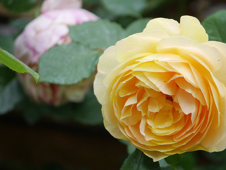 サムズ・アップ(Thumbs Up)の花がたくさん咲いた。半ツルバラ。2021年-127.jpg