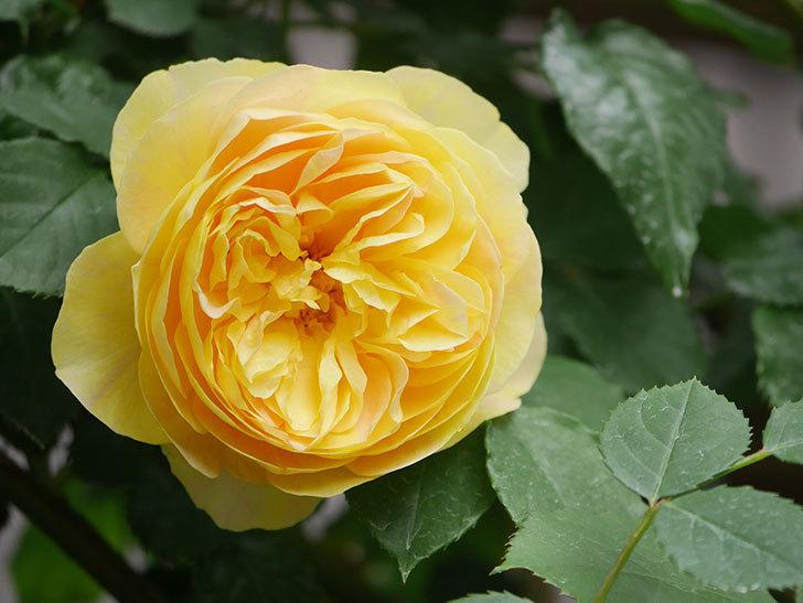 サムズ・アップ(Thumbs Up)の花がたくさん咲いた。半ツルバラ。2021年-128.jpg