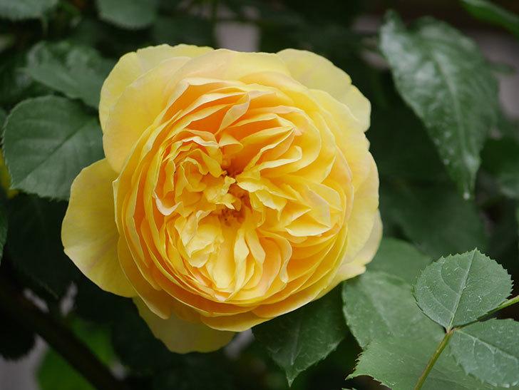 サムズ・アップ(Thumbs Up)の花がたくさん咲いた。半ツルバラ。2021年-129.jpg