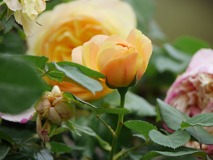 サムズ・アップ(Thumbs Up)の花がたくさん咲いた。半ツルバラ。2021年-130.jpg