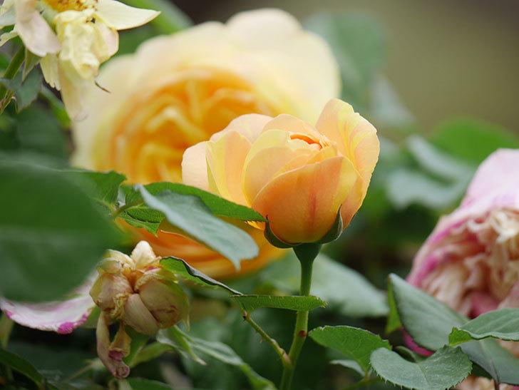 サムズ・アップ(Thumbs Up)の花がたくさん咲いた。半ツルバラ。2021年-131.jpg