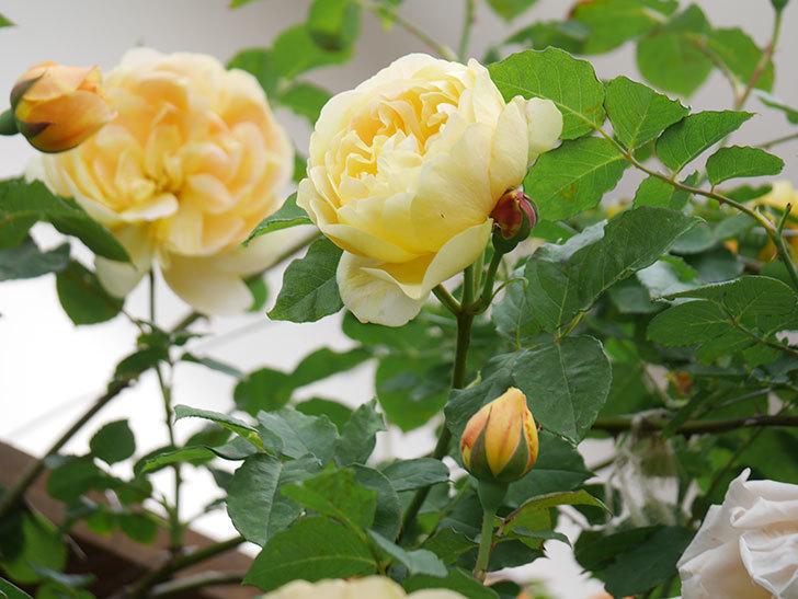 サムズ・アップ(Thumbs Up)の花がたくさん咲いた。半ツルバラ。2021年-134.jpg