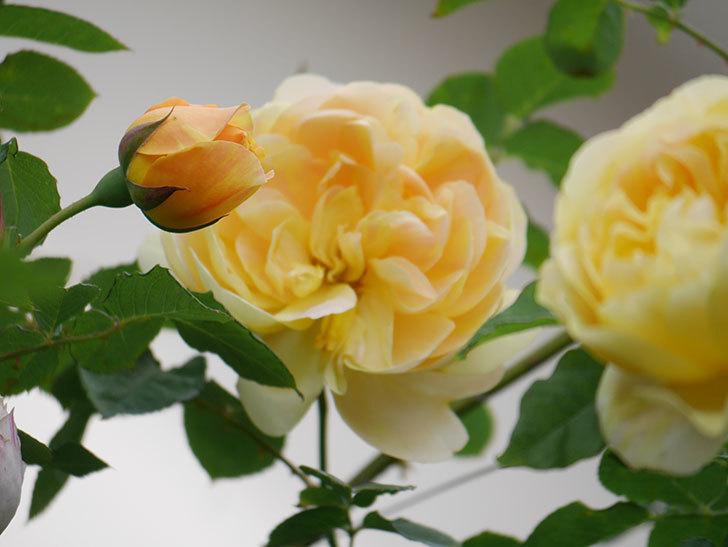 サムズ・アップ(Thumbs Up)の花がたくさん咲いた。半ツルバラ。2021年-136.jpg