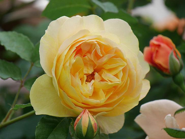 サムズ・アップ(Thumbs Up)の花がたくさん咲いた。半ツルバラ。2021年-137.jpg