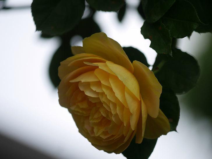 サムズ・アップ(Thumbs Up)の花がたくさん咲いた。半ツルバラ。2021年-138.jpg