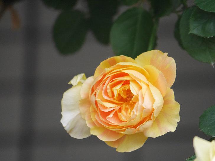 サムズ・アップ(Thumbs Up)の花がたくさん咲いた。半ツルバラ。2021年-139.jpg