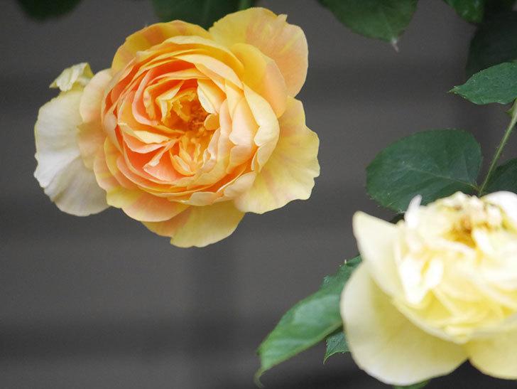 サムズ・アップ(Thumbs Up)の花がたくさん咲いた。半ツルバラ。2021年-140.jpg