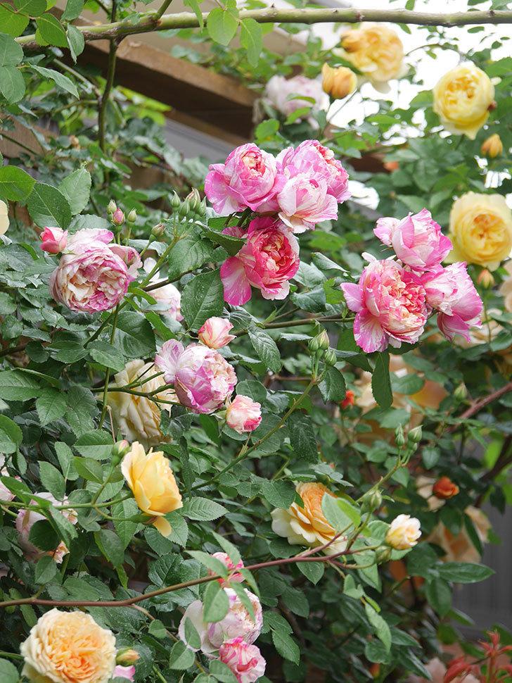 サムズ・アップ(Thumbs Up)の花がたくさん咲いた。半ツルバラ。2021年-141.jpg
