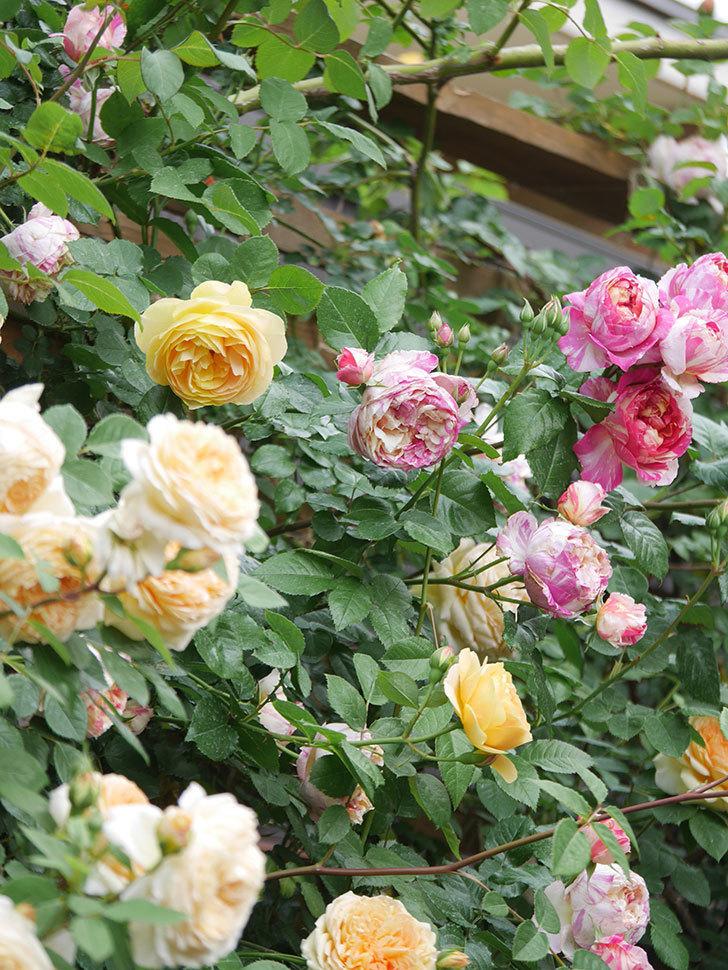 サムズ・アップ(Thumbs Up)の花がたくさん咲いた。半ツルバラ。2021年-142.jpg