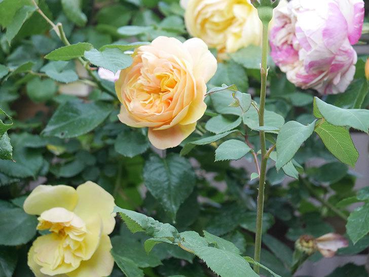 サムズ・アップ(Thumbs Up)の花がたくさん咲いた。半ツルバラ。2021年-143.jpg