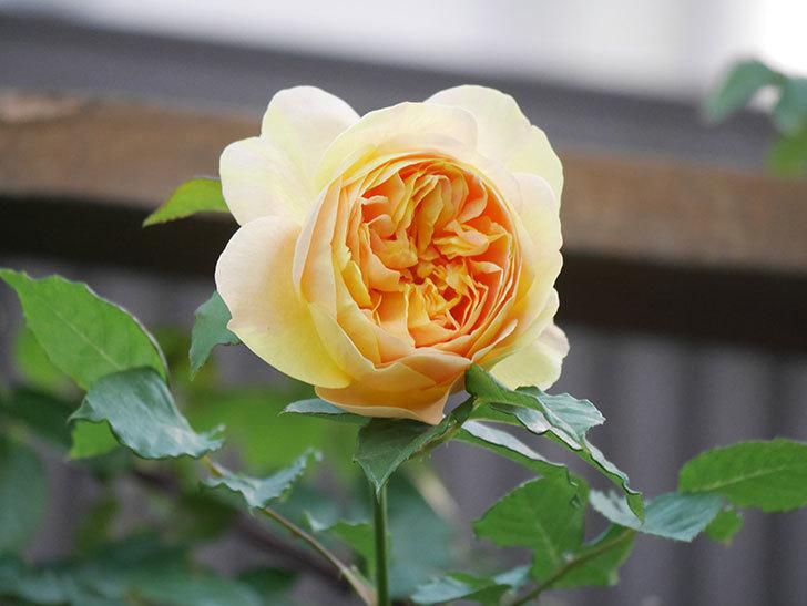 サムズ・アップ(Thumbs Up)の花がたくさん咲いた。半ツルバラ。2021年-144.jpg