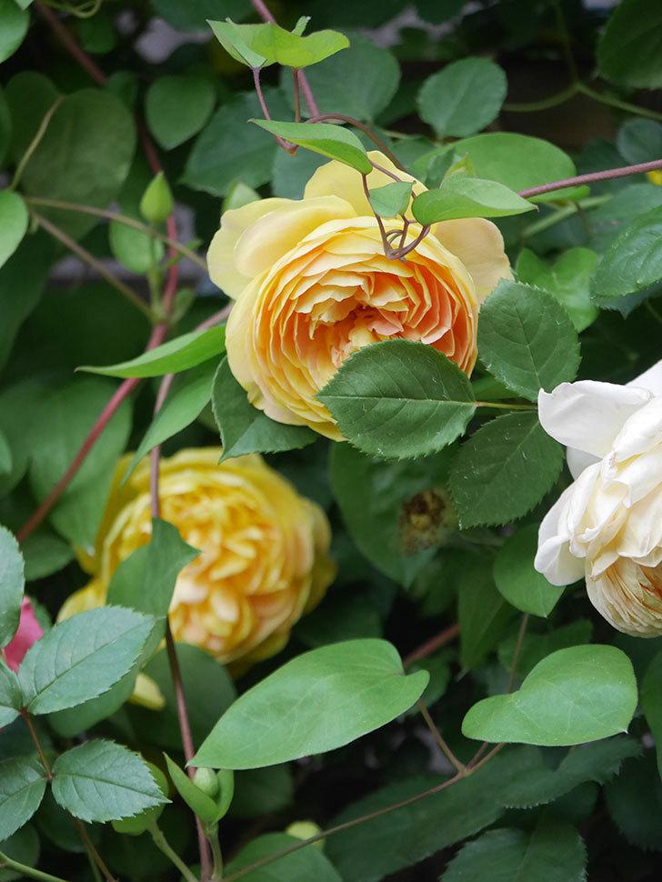サムズ・アップ(Thumbs Up)の花がたくさん咲いた。半ツルバラ。2021年-145.jpg