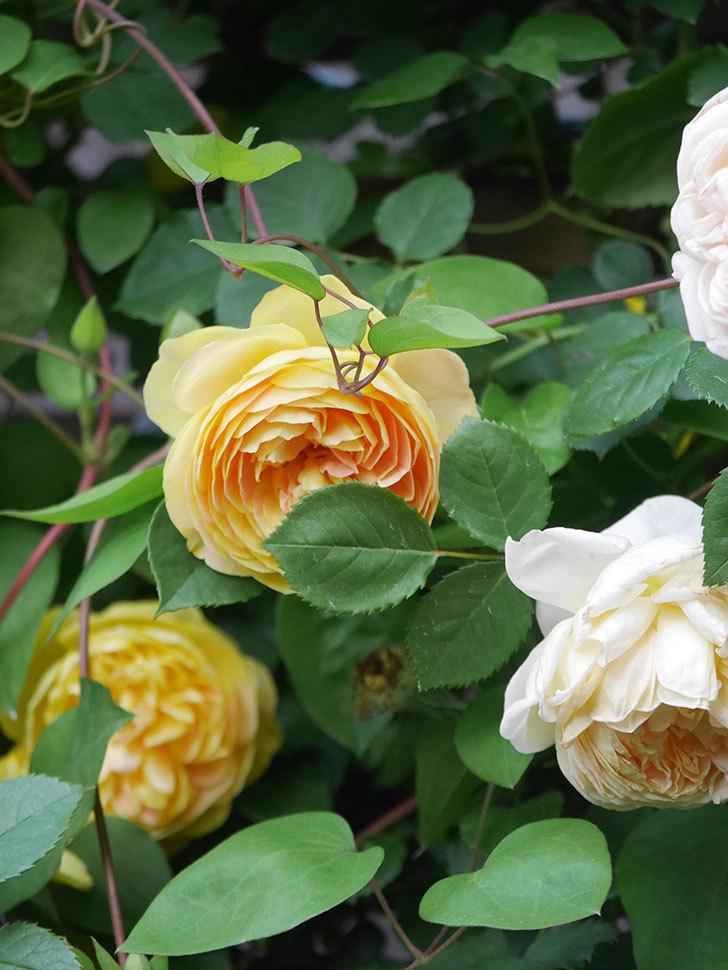 サムズ・アップ(Thumbs Up)の花がたくさん咲いた。半ツルバラ。2021年-146.jpg