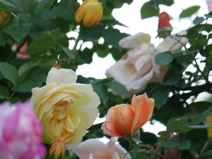サムズ・アップ(Thumbs Up)の花がたくさん咲いた。半ツルバラ。2021年-147.jpg