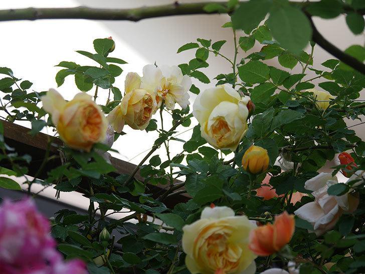 サムズ・アップ(Thumbs Up)の花がたくさん咲いた。半ツルバラ。2021年-148.jpg
