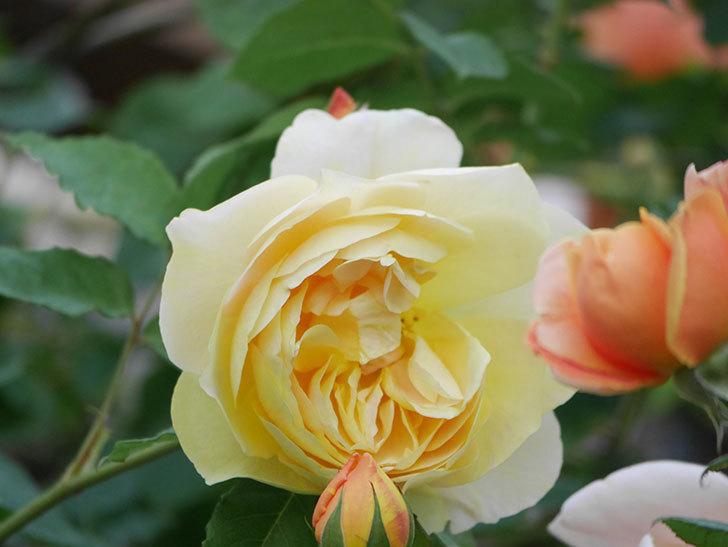 サムズ・アップ(Thumbs Up)の花がたくさん咲いた。半ツルバラ。2021年-149.jpg