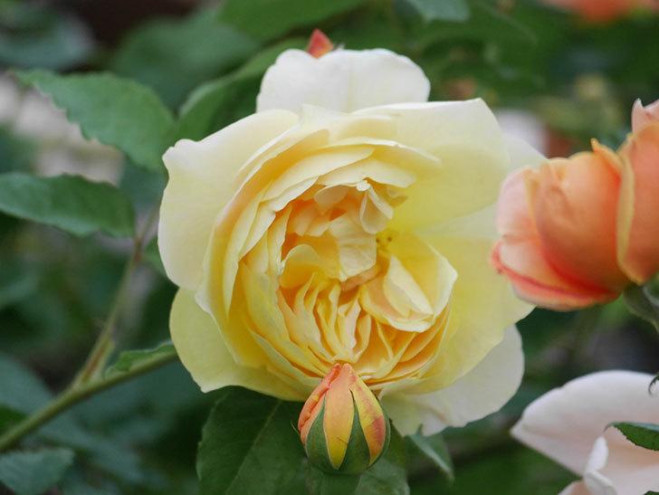 サムズ・アップ(Thumbs Up)の花がたくさん咲いた。半ツルバラ。2021年-150.jpg
