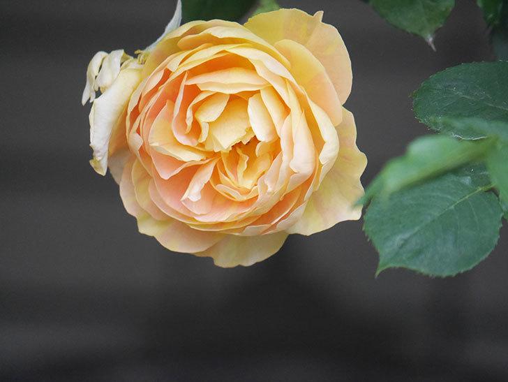 サムズ・アップ(Thumbs Up)の花がたくさん咲いた。半ツルバラ。2021年-151.jpg