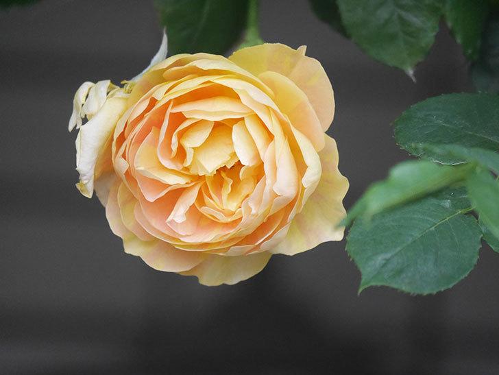 サムズ・アップ(Thumbs Up)の花がたくさん咲いた。半ツルバラ。2021年-152.jpg