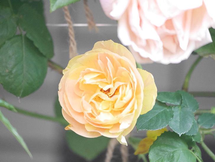 サムズ・アップ(Thumbs Up)の花がたくさん咲いた。半ツルバラ。2021年-153.jpg