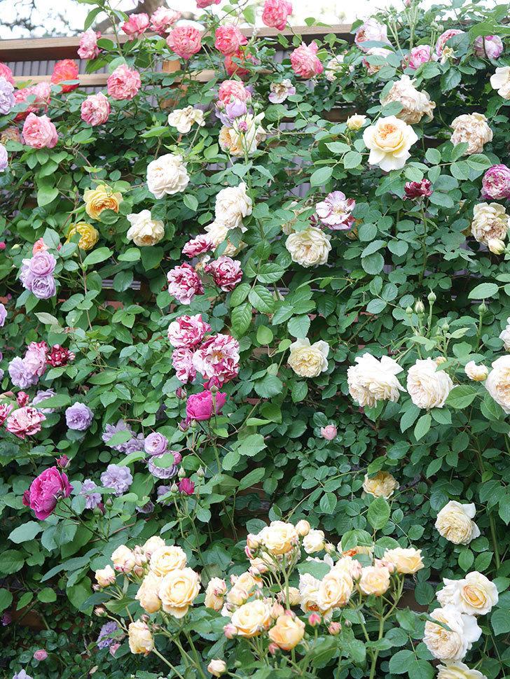 サムズ・アップ(Thumbs Up)の花がたくさん咲いた。半ツルバラ。2021年-154.jpg