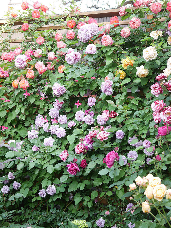 サムズ・アップ(Thumbs Up)の花がたくさん咲いた。半ツルバラ。2021年-155.jpg