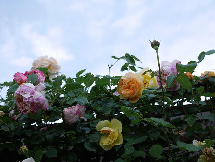 サムズ・アップ(Thumbs Up)の花がたくさん咲いた。半ツルバラ。2021年-156.jpg