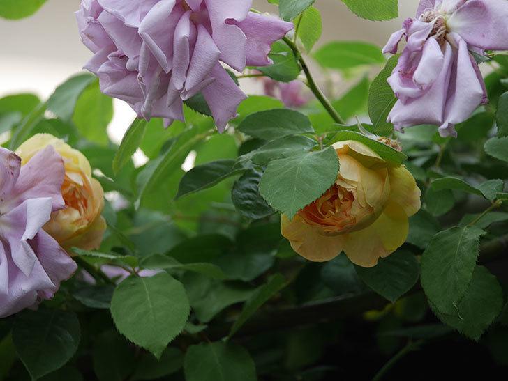 サムズ・アップ(Thumbs Up)の花がたくさん咲いた。半ツルバラ。2021年-157.jpg