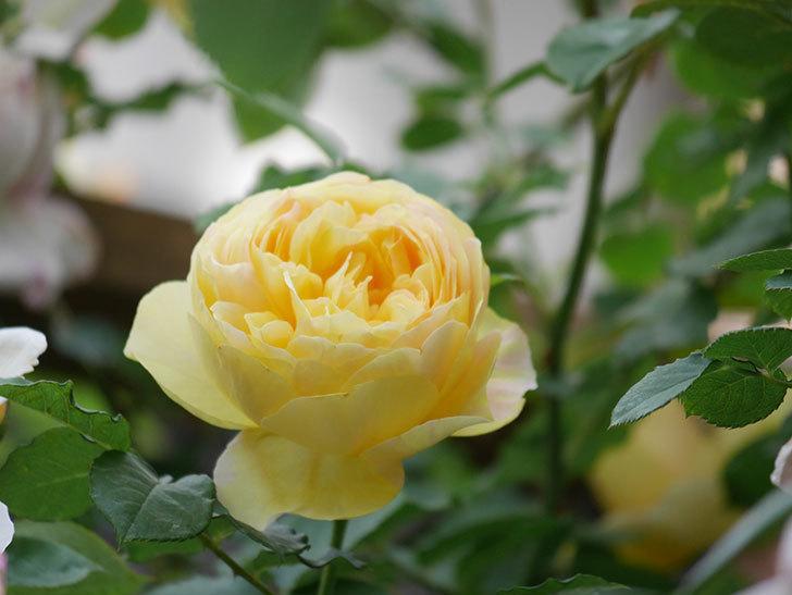 サムズ・アップ(Thumbs Up)の花がたくさん咲いた。半ツルバラ。2021年-158.jpg