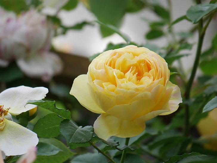 サムズ・アップ(Thumbs Up)の花がたくさん咲いた。半ツルバラ。2021年-159.jpg