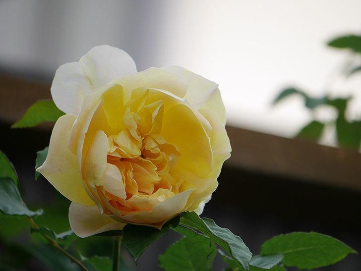 サムズ・アップ(Thumbs Up)の花がたくさん咲いた。半ツルバラ。2021年-160.jpg