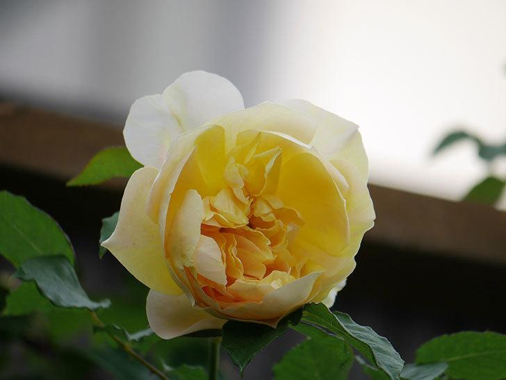 サムズ・アップ(Thumbs Up)の花がたくさん咲いた。半ツルバラ。2021年-161.jpg