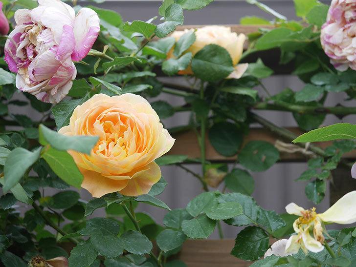 サムズ・アップ(Thumbs Up)の花がたくさん咲いた。半ツルバラ。2021年-162.jpg